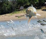 Researchers Find No Asian Carp in Lake Erie