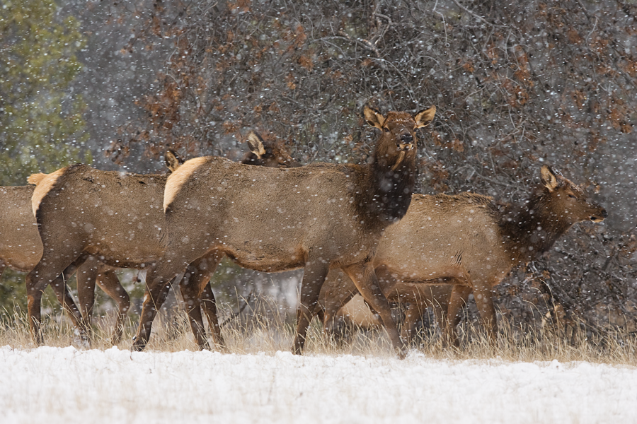 A herd of elk pushes on through a snow squall.