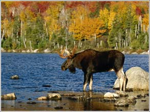 Moose on the Move