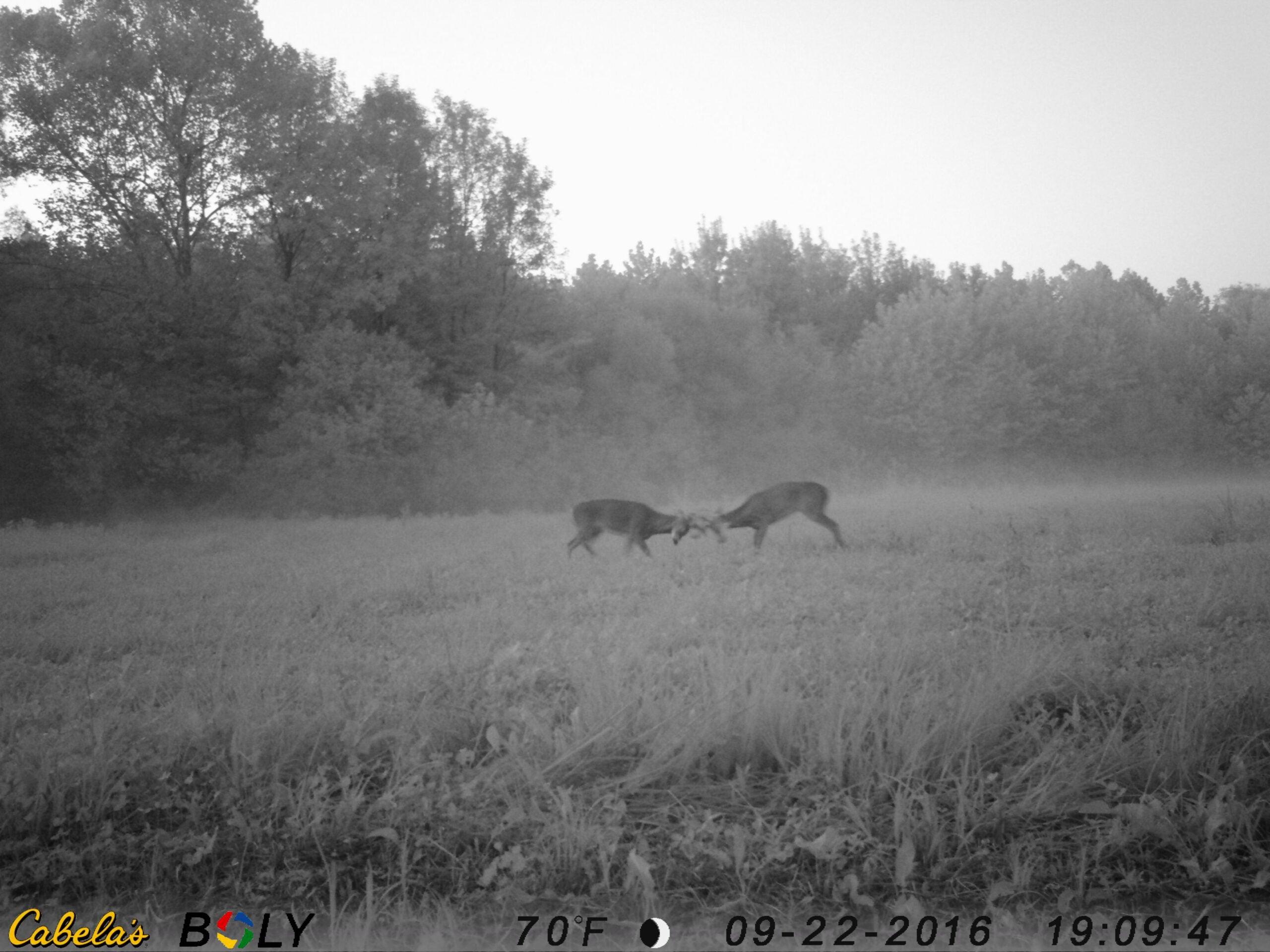 whitetail bucks fighting