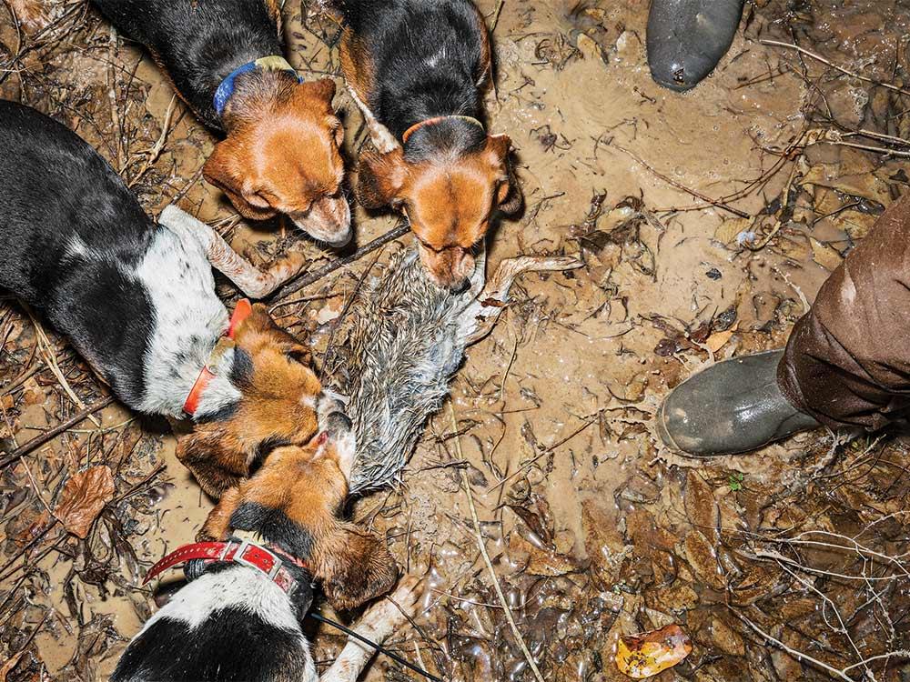 beagles hunting rabbit
