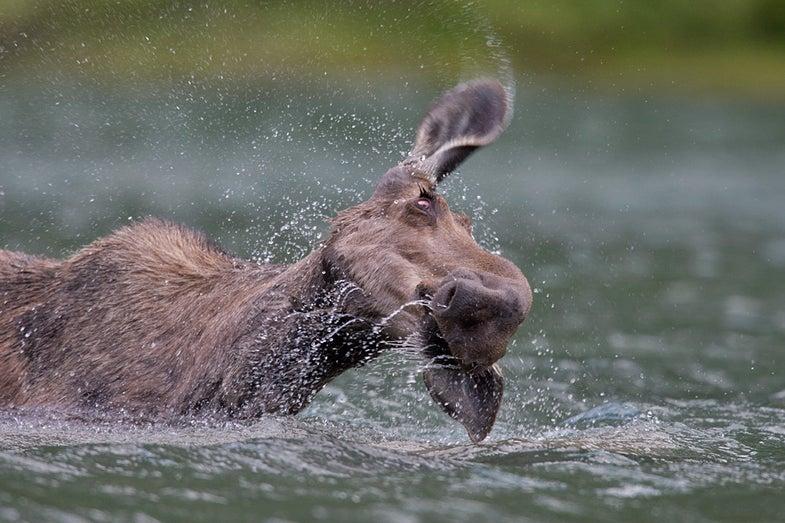 Wet and Wild Montana Moose