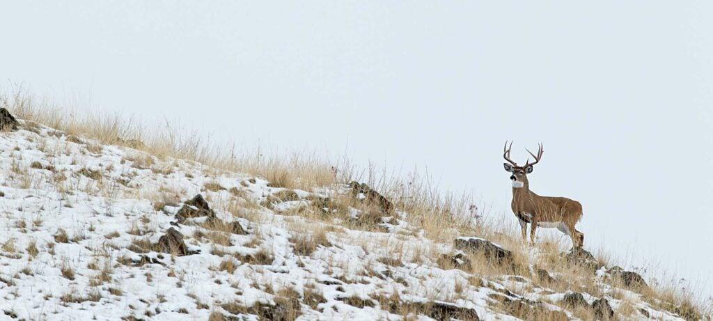 Whitetail buck standing on hillside