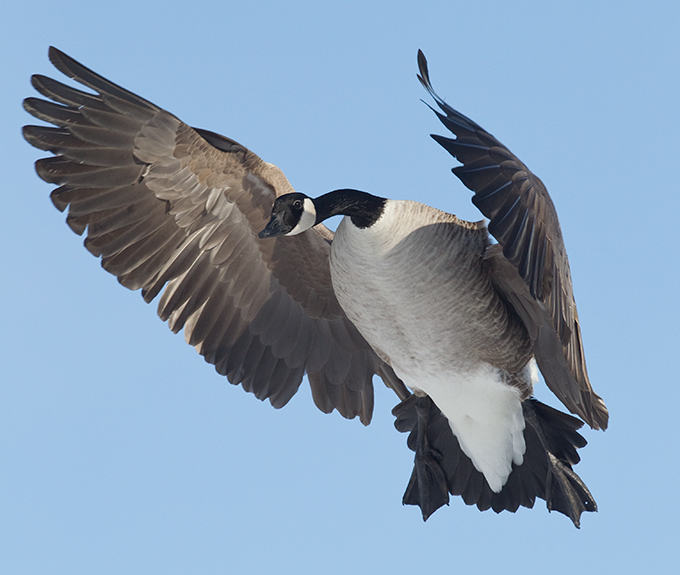 Calling Geese: Read Bird Behavior