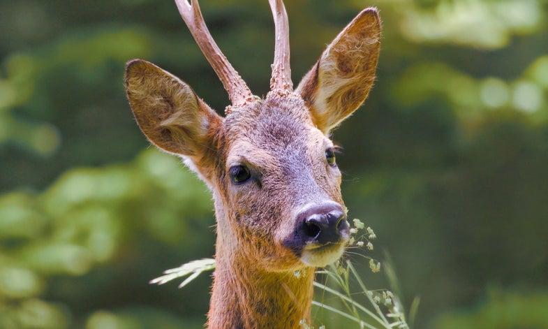 Deer, Wild Boars Wreaking Havoc on Tuscan Vineyards