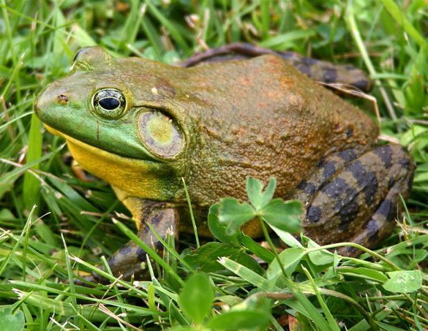 httpswww.fieldandstream.comsitesfieldandstream.comfilesimport2014importBlogPostembed775px-North-American-bullfrog1.jpg