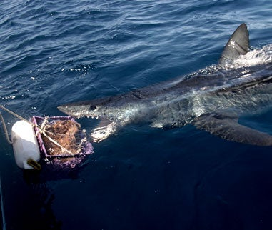 Giant Mako Shark Caught On Fly Rod Off San Diego