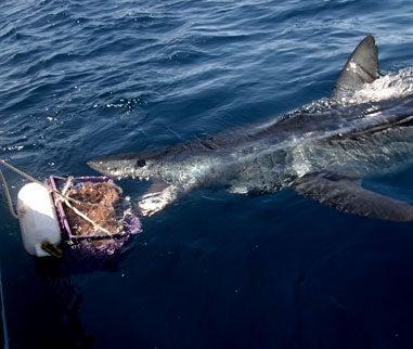 Giant Mako Shark Caught On Fly Rod Off San Diego