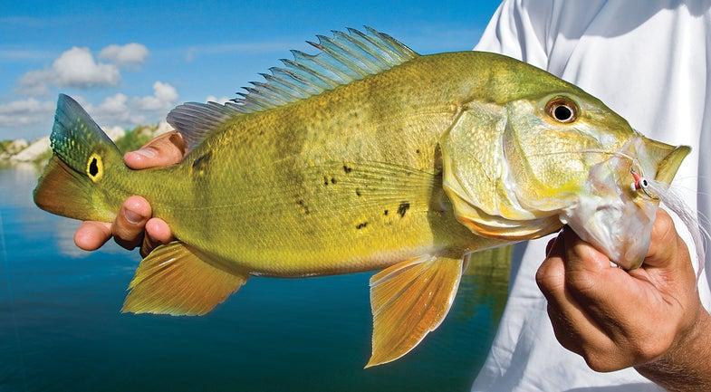 peacock bass tips, peacock bass, bass fishing,