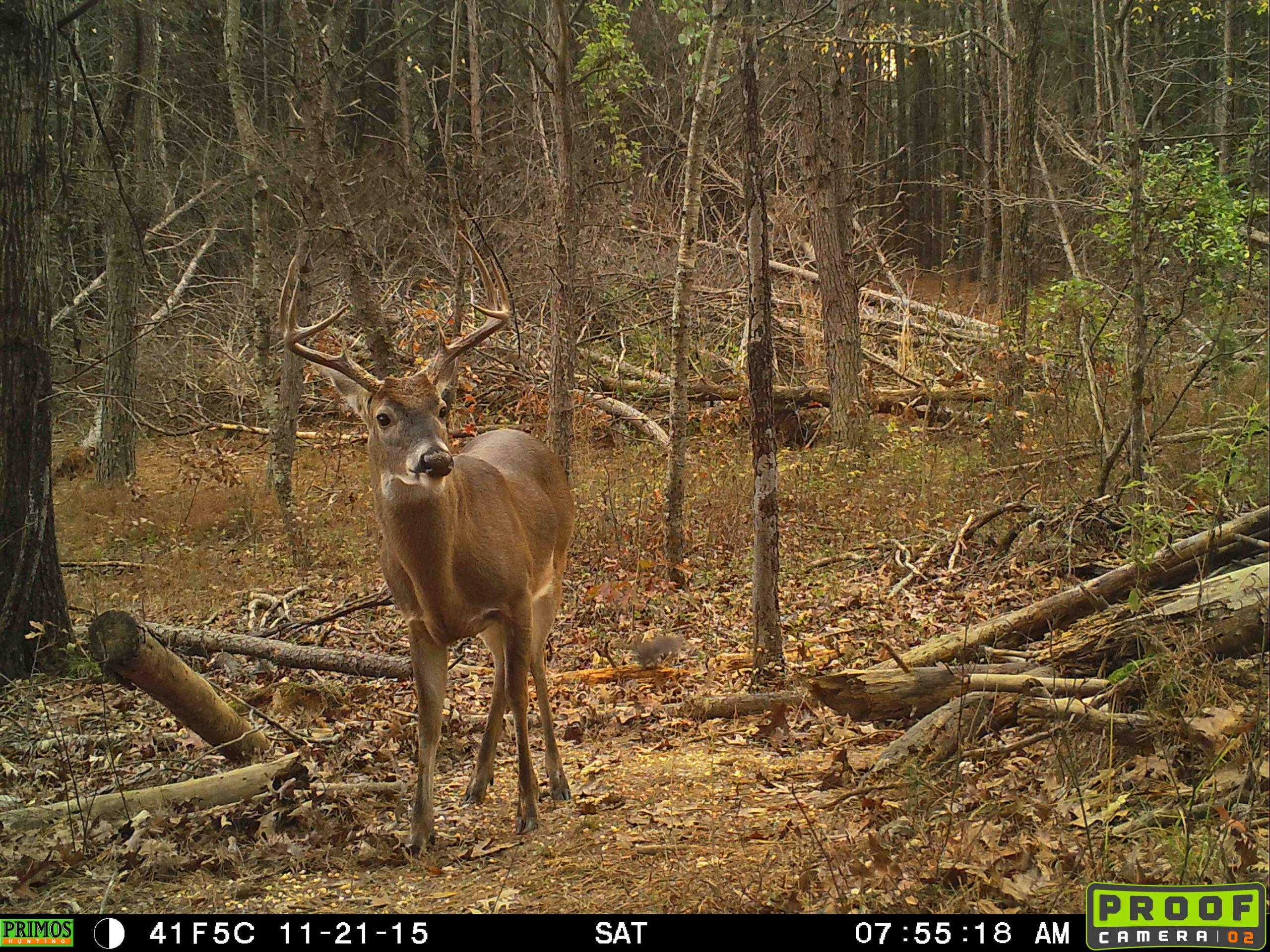 pressured buck
