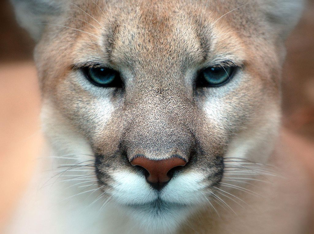 Colorado Outfitter Pleads Guilty After Leading Clients on Illegal, Canned Mountain Lion Hunts
