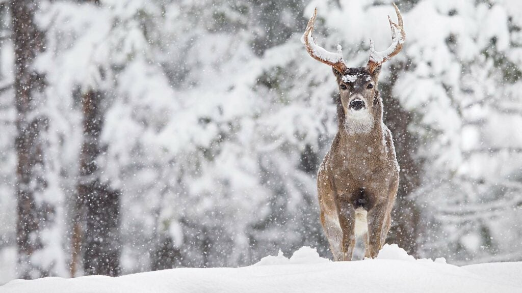 Montana whitetail buck in snow