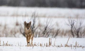 6 Expert Tips for Hunting Coyotes in the East