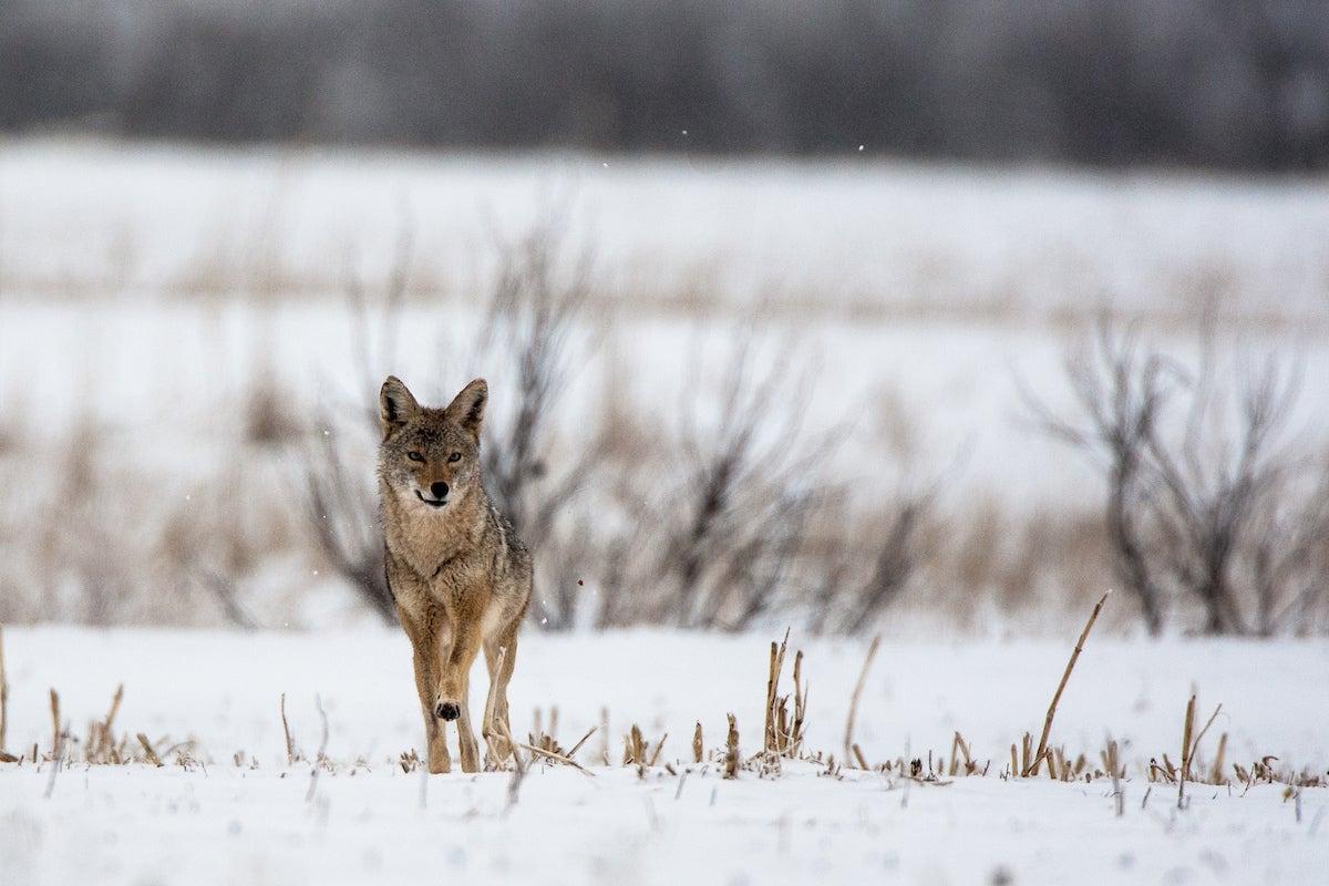 Coyote in a corn field