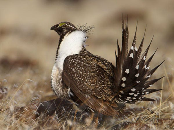 the greater sage grouse
