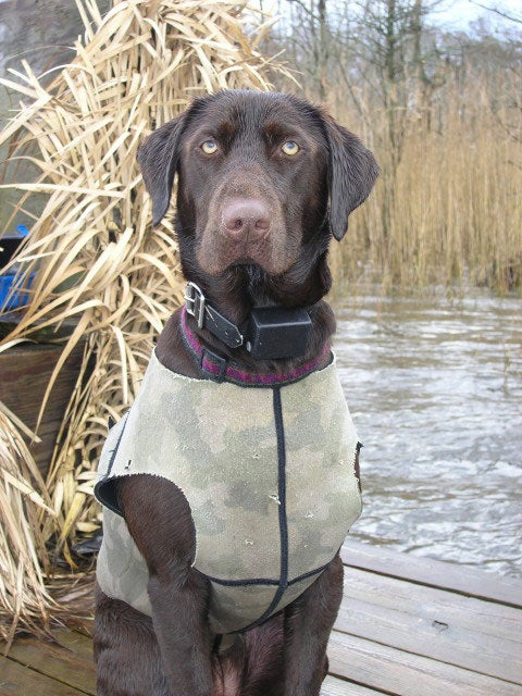 What Are the Biggest Duck Blind Sins a Gun Dog Can Make?
