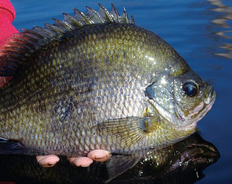 Grass Shrimp: Secret Bait for Panfish, Trout, and Smallmouth Bass