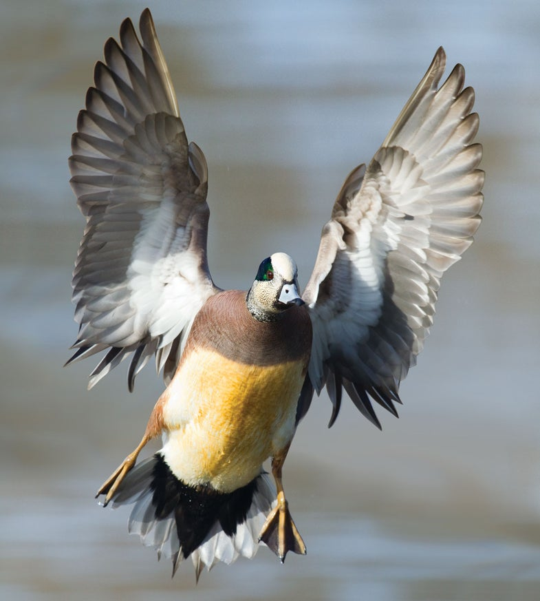 Four Essential Tactics for October Wigeon