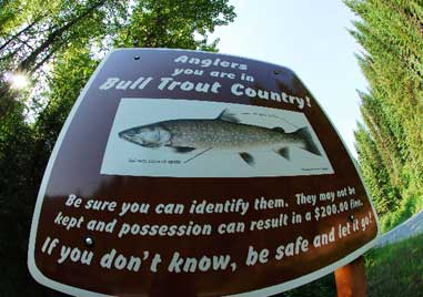 Backcountry Bull Trout