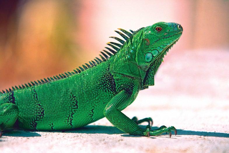 Iguana hunting, hunting Iguana, how to hunt Iguanas, puerto rico, Iguanas puerto rico, hunting, david draper,