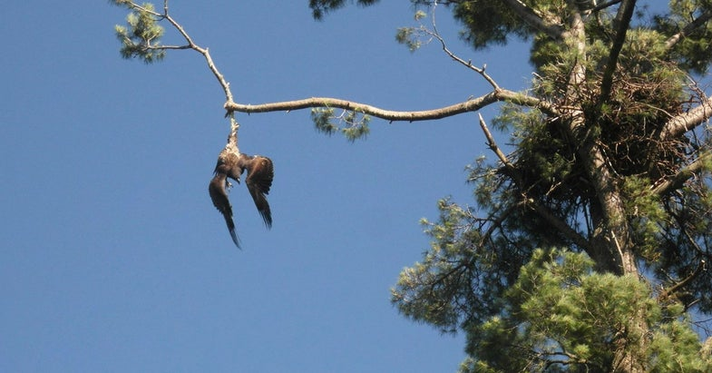 eagle trapped, trapped eagle, minnesota, sharpshooting, Army veteran, wildlife rescue, saving wildlife,