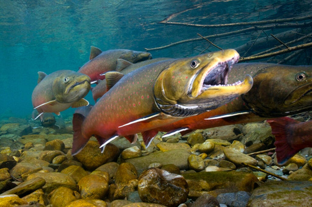 bull trout threatened