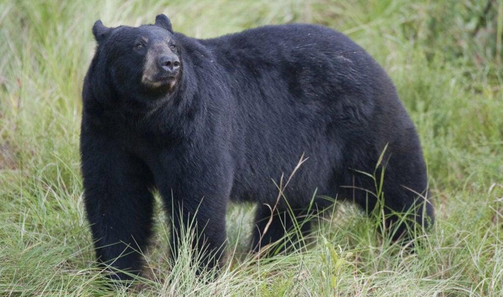 black bear florida