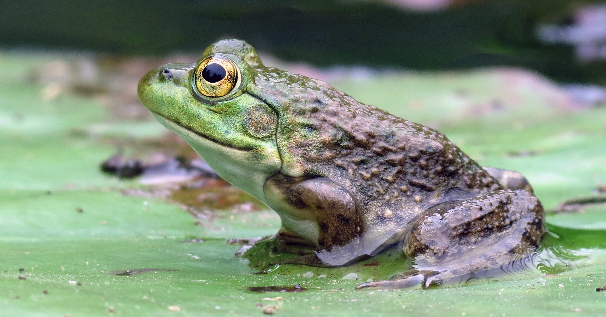Are American Bullfrogs Taking Over the West?