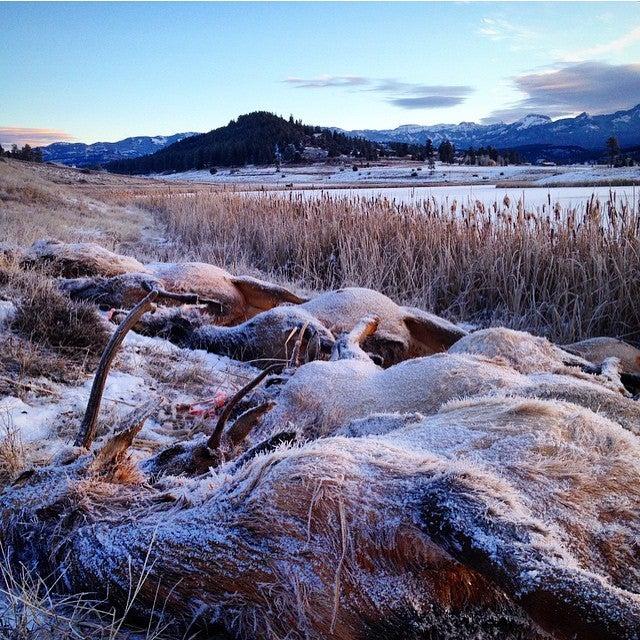 Colorado Elk Herd Found Dead After Falling Through Ice