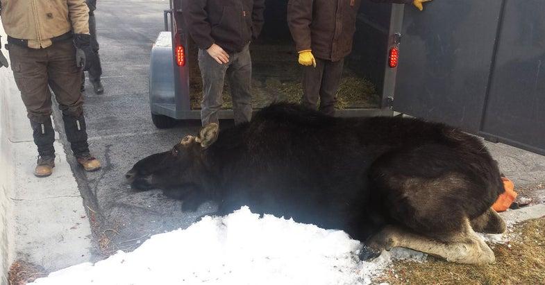 Video: Utah Moose Makes Third Trip To Town
