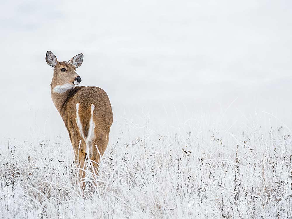 doe in snowy field