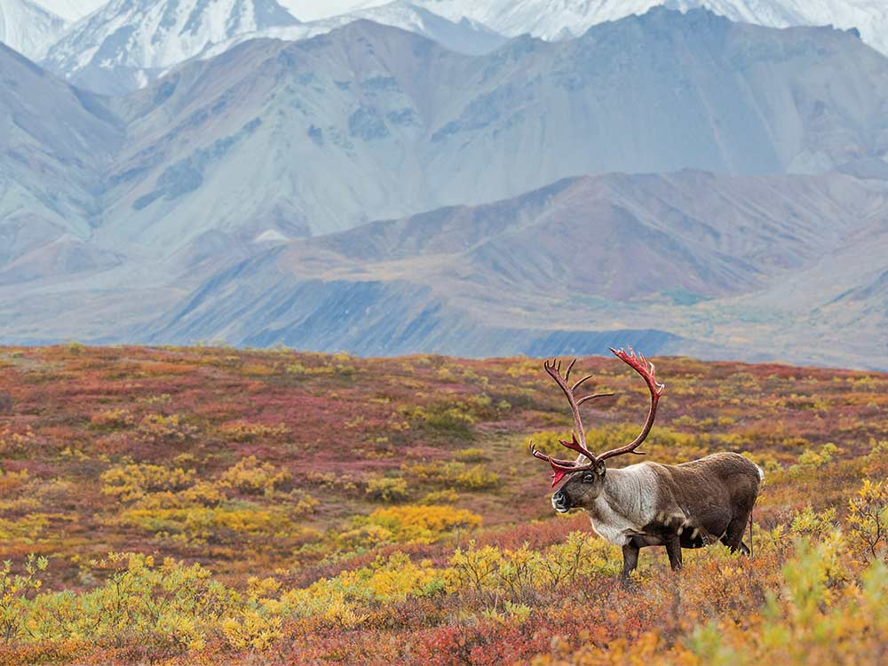 solitary bull caribou