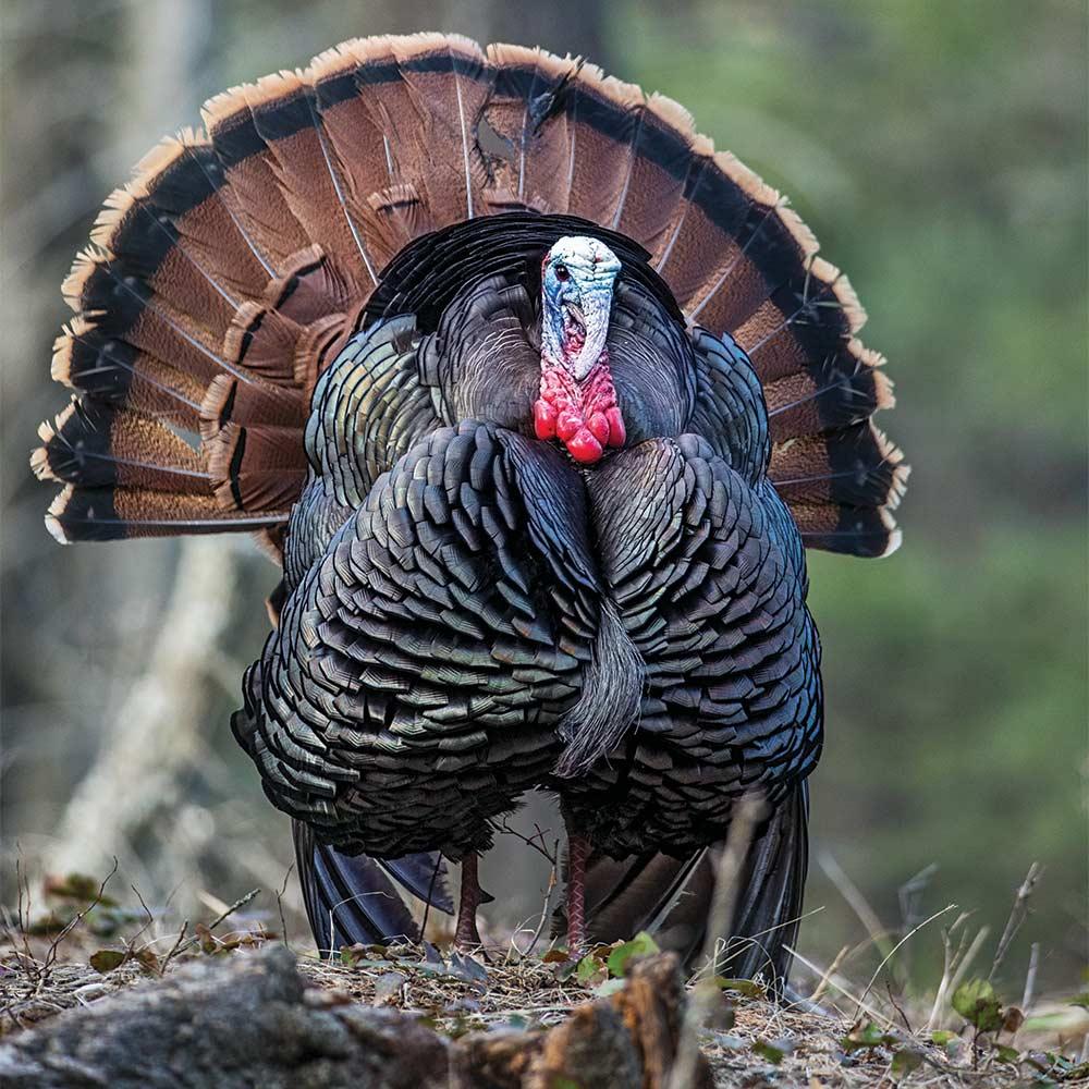 sptring tom turkey in full strut
