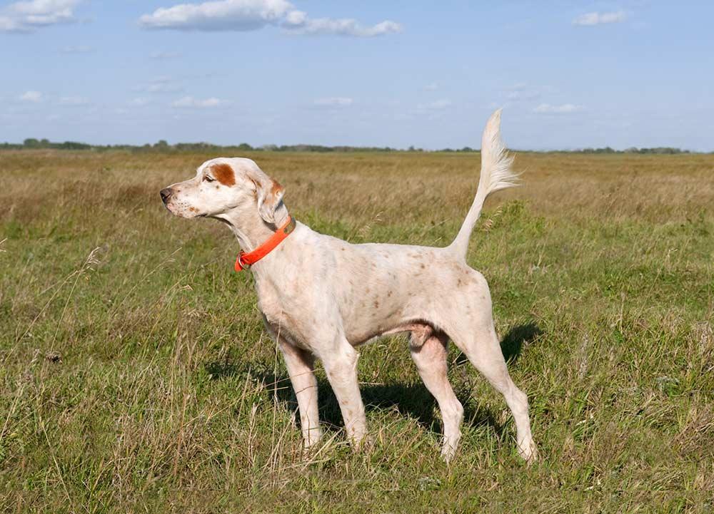shadow oak bo hunting dog