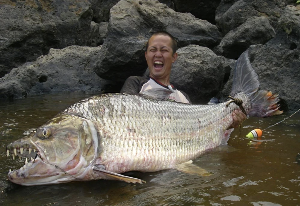 Goliath tigerfish is one of the meanest fish that fishermen can catch.