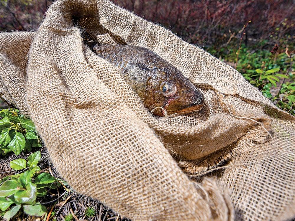a carp fish in a brown burlap sack