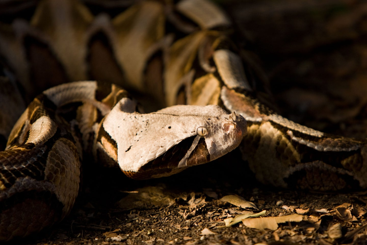 Gaboon Viper: The Snake You Can't See