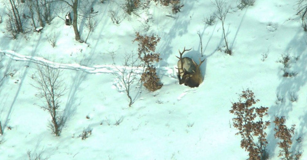 Video: Elk From the Air