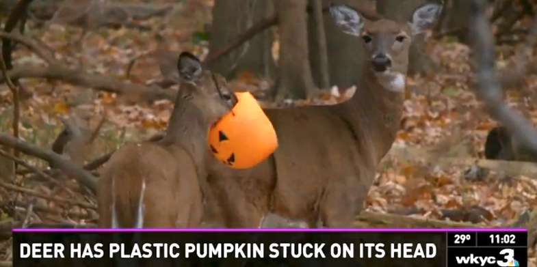 Deer Saved from Pumpkin Pail by Rescuer in Hunting Blind