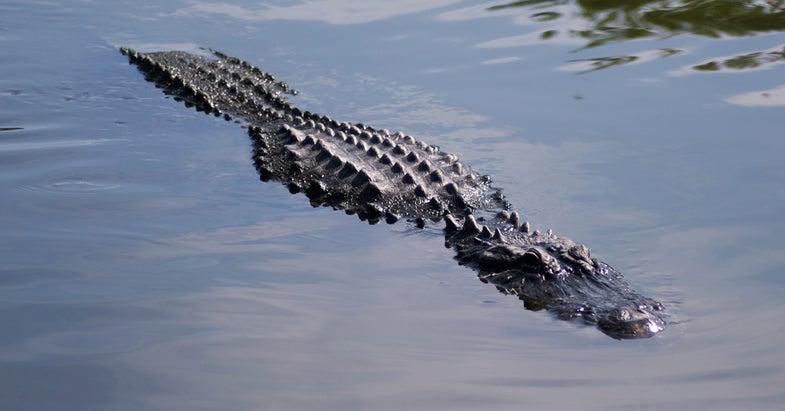 Alligator Bites Off Florida Swimmer's Arm