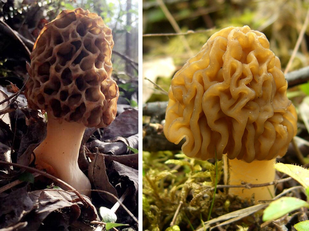 real morel side by side with a fake morel