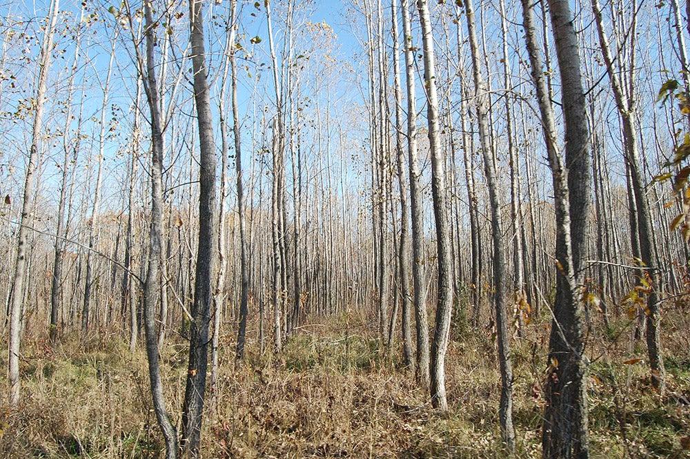 a grove of poplar trees