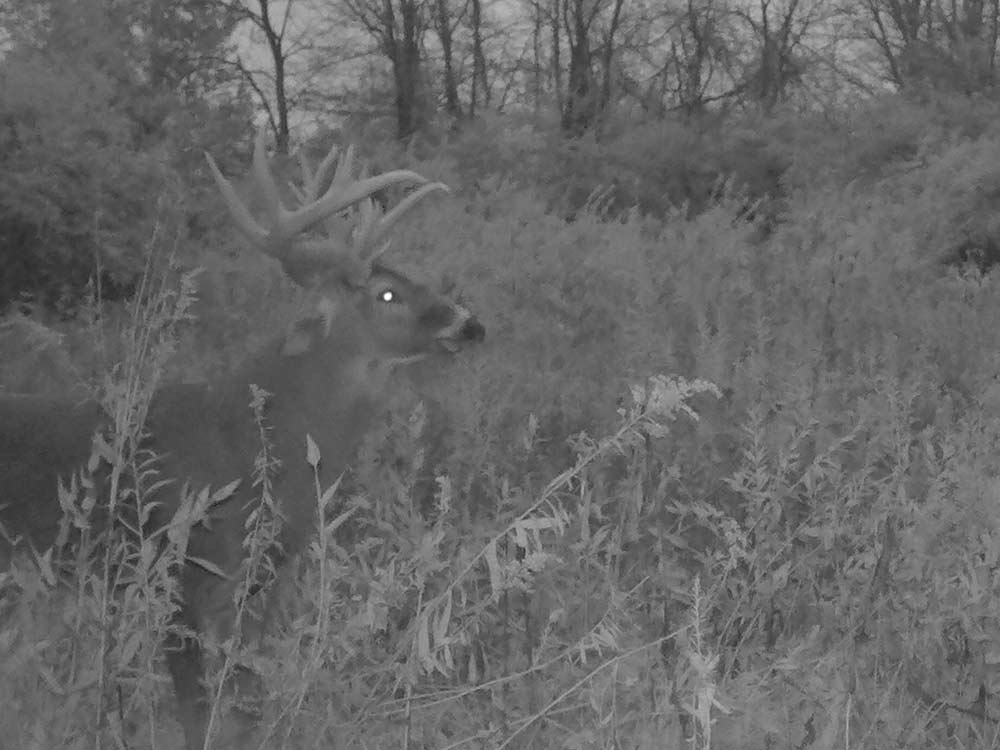 black and white image of a deer in a field