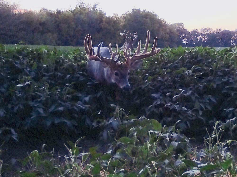 trail cam photo of a whitetail deer eating in a food plot