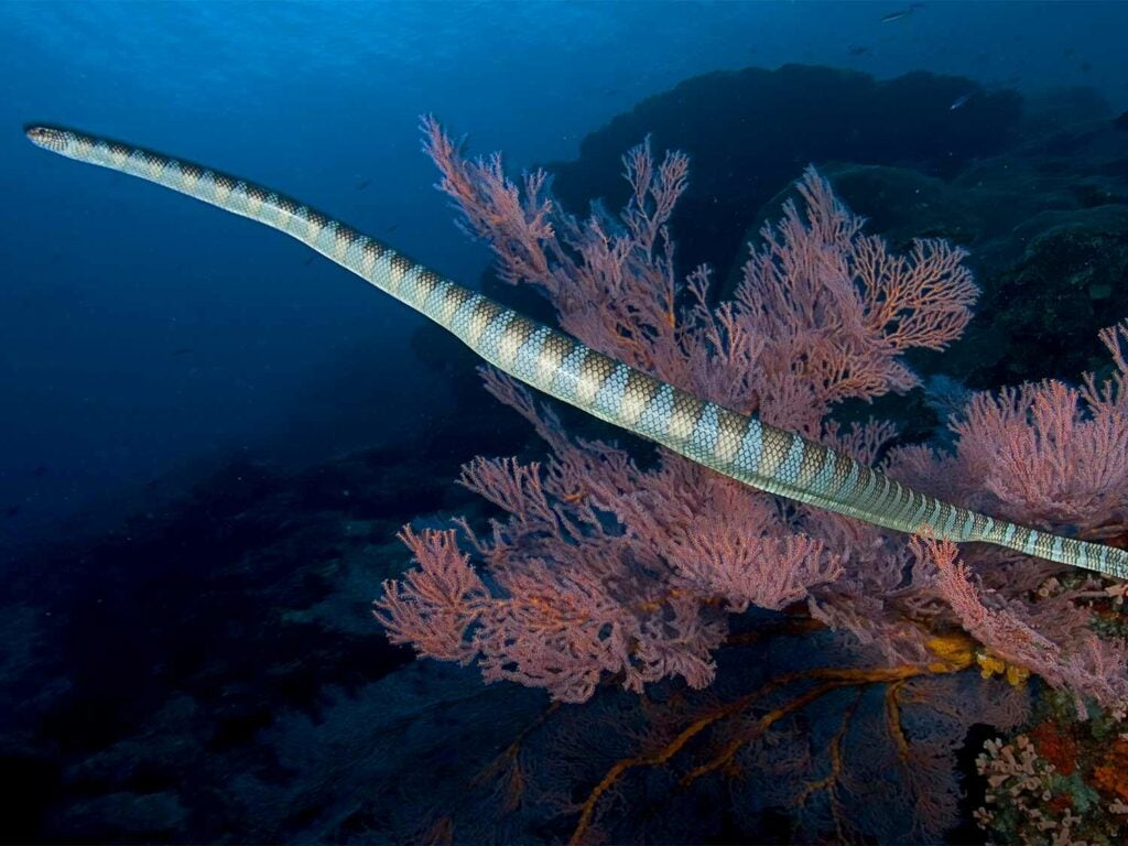 an olive brown sea snake