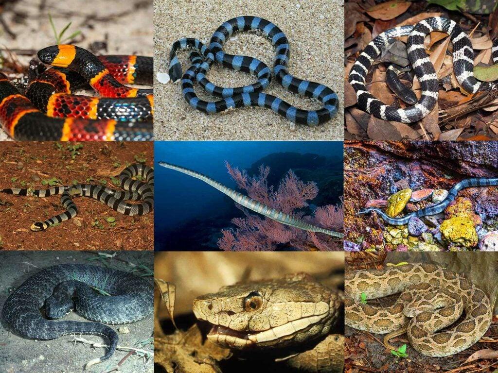 top venomous snakes