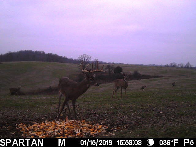 buck showing on the trail camera