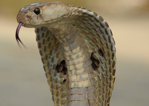 Pennsylvania Grandmother Kills Cobra With a Shovel