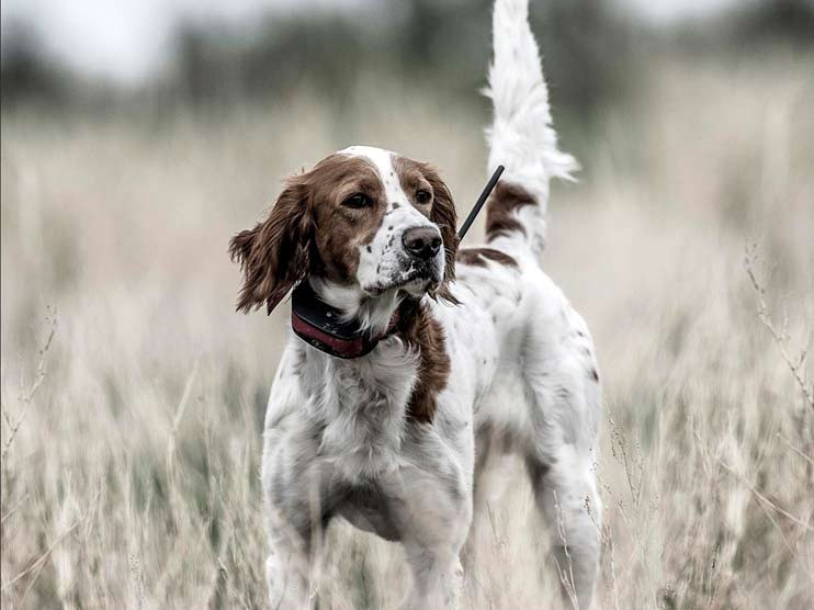 hunting dog in a field