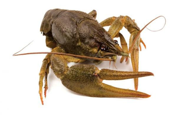 Crawfish make the perfect bait, or dinner for you.